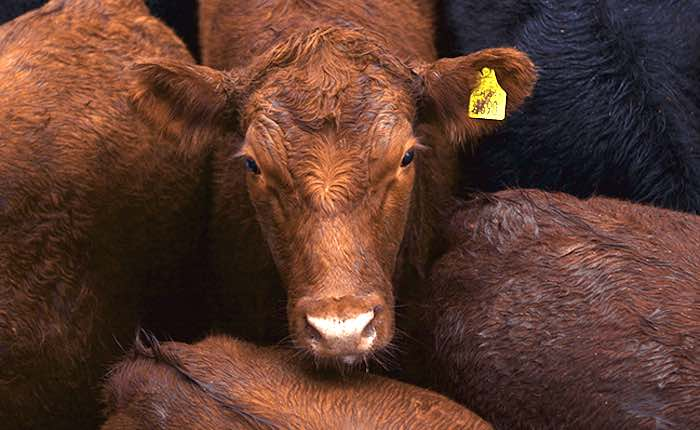 Modular Cow Monitoring Solution Now Supports Complete Lifecycle