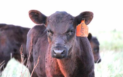 Should You Implant Your Calves, and if so, What Products Should You Use?