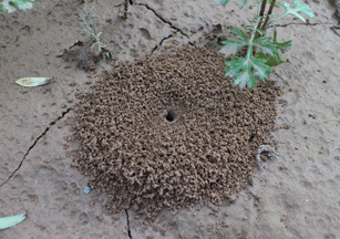 Ant Hills Provide a Beneficial Source of Natural Mulch