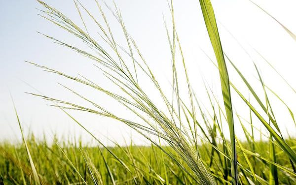 Cellulosic Biofuel Crops: Study Shows Where and How to Grow