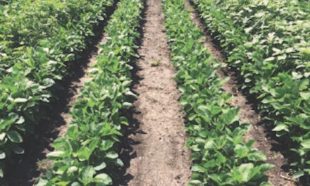 Herbicide Gives Soybean Growers a Valuable Tool for Resistance Management