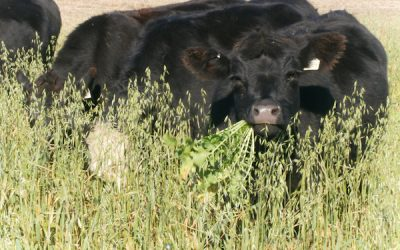 Integrating Crops, Grazing May Improve Soil, Livestock Health