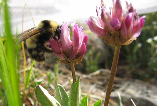 Bombus balteatus queen collecting nectar from the alpine clover, Trifolium parryi. The buzzes of bees flying from flower to flower tell scientists how much pollination the clover population is getting over time and predict seed production in these alpine wildflowers. (Photo courtesy of Jennifer Geib, Appalachian State University)
