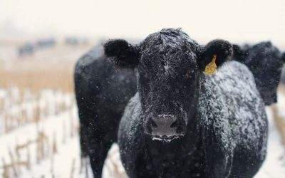 Exploring Causes and Effects in Cow Herd Management