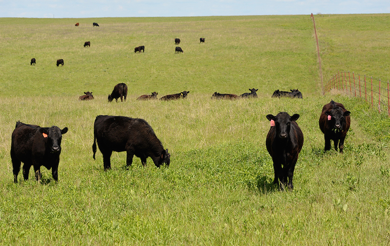 Impact of Early Weaning on Replacement Heifers in Areas of Drought