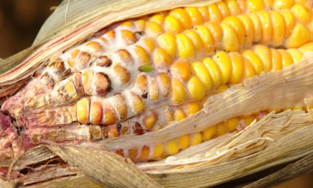 New App Makes it Easier for Farmers to Identify, Manage Corn Ear Rots, Mycotoxins
