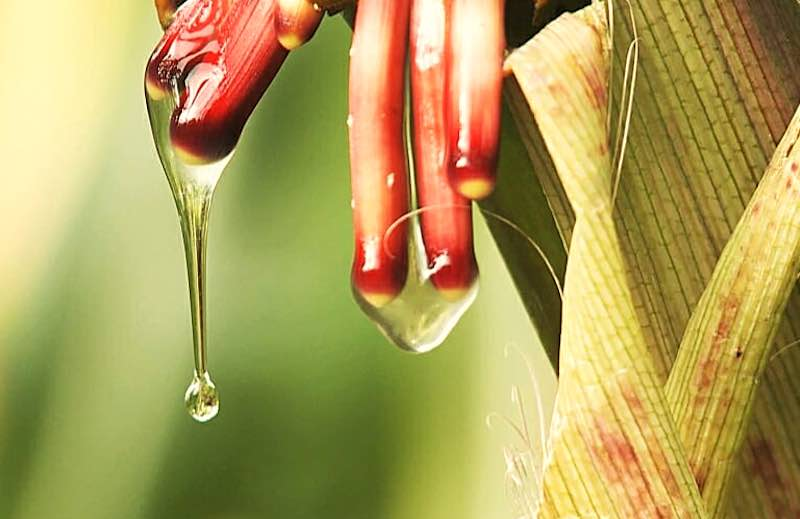 Growing Corn Without Fertilizer? A remarkable discovery [RESEARCH NEWS]