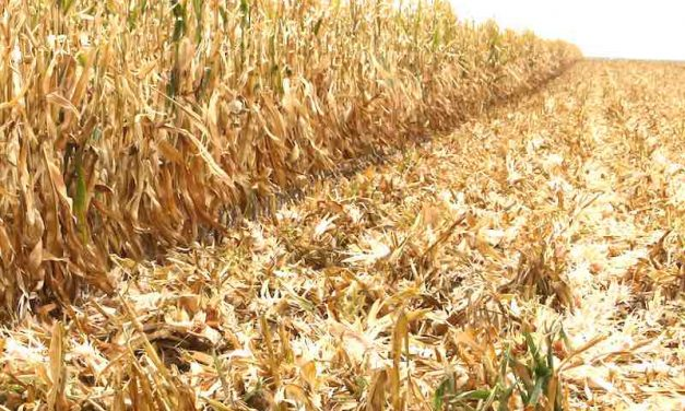 Grazing Corn Residue: New research shows why it's a 'good thing'