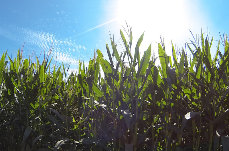 Has Hybridization Changed Corn's Ability to Adjust To New or Stressful Conditions?