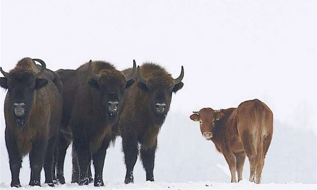 What Happens When a Cow Escapes and Runs Free With a Herd of Wild Buffalo? [Odds and Ends]