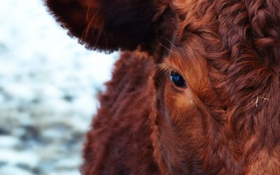 Dealing with Snowstorms for Cattle on Winter Range