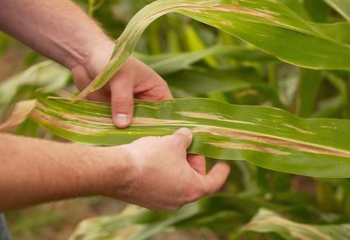 Corn Leaf Blight Gene I.D.'d by Researchers Will Help Find a Way to Fight Back