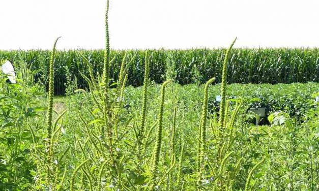 Fighting Back Against Pigweed: Successful awareness initiative & best practices.