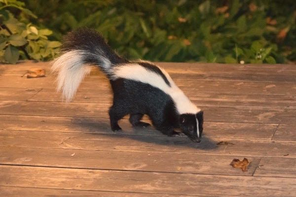 Getting Rid of Skunk Spray, Free Bird Seed and More Helpful Hints