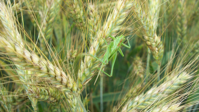 Triticale's Trifecta of Benefits: A Winter Cover Crop Good For Soil, Cows, Profit