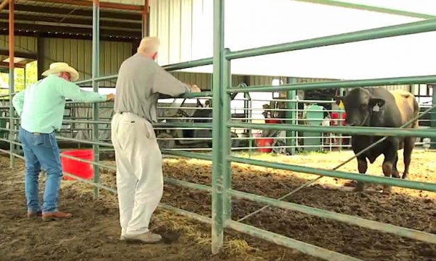 How Two Cattlemen Used Technology to Transform 'Sale Barn  Bargains' Into Winners [VIDEO]