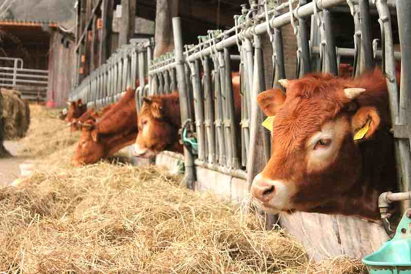Forage Inoculants and Preservatives: Essentials for an optimal