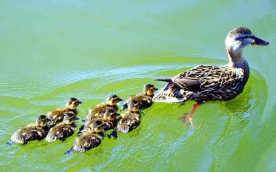 """Estate Planning with Children: Making sure """"All your ducks are in a row"""""""