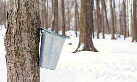 Why the Maple Syrup Process is Best Left to the 'Experienced'